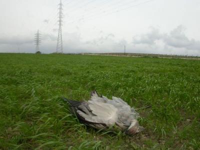 El CPN-COCN denuncia al SEPRONA la muerte de grullas en Tahivilla por colisión con línea eléctrica