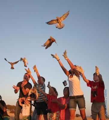 Cernícalos Primillas caídos de nidos son liberados, a mano, por voluntarios