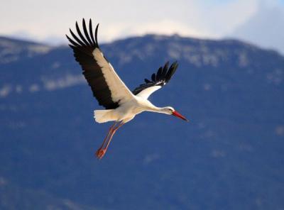 Seguimiento de la migración prenupcial de aves planeadoras en el Estrecho